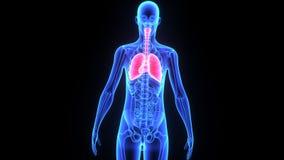 Ludzcy płuca z sercem ilustracja wektor