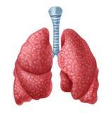 ludzcy płuca Fotografia Stock