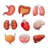 ludzcy wewnętrzni organy Żołądek, płuca, cynaderki, serce, mózg i wątróbka, Części ciałej anatomii wektorowy set ilustracji