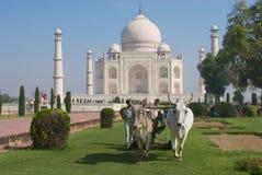 Ludzie cią trawy z byk jadącą gazon wnioskodawcą przy Taj Mahal w Agra, India fotografia stock