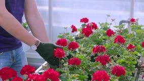 Ludzie dbają dla rośliien w wielkiej szklarni Ludzie pracy w szklarni Obieg w nowo?ytnej szklarni zbiory