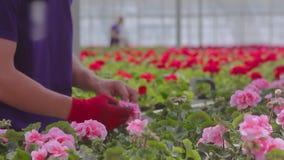 Ludzie dbają dla rośliien w wielkiej szklarni Ludzie pracy w szklarni Obieg w nowo?ytnej szklarni zbiory wideo