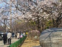 Ludzie i Sakura obrazy stock