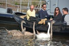Ludzie ogląda życzliwych łabędź Obraz Royalty Free