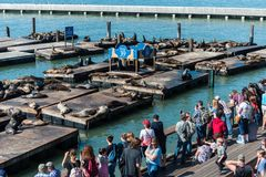 Ludzie ogląda dennych lwy przy molem 39 w San Francisco, Kalifornia, usa zdjęcie stock
