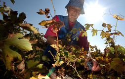 Ludzie podnosi winogrona w Plovdiv Zdjęcie Royalty Free