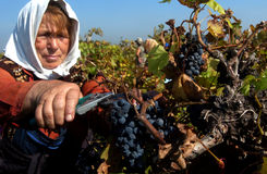 Ludzie podnosi winogrona w Plovdiv Obrazy Royalty Free