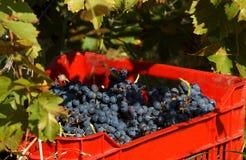 Ludzie podnosi winogrona w Plovdiv Zdjęcia Royalty Free