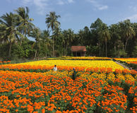 Ludzie pracuje na stokrotka kwiatu polach obrazy stock
