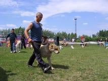Ludzie prowadzenie psów przy psim przedstawieniem w pierścionku w Iskitim Rosja 2011 właściciel pokazują najlepszy trakeny Środko fotografia stock