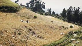Ludzie w Ethiopia przewożenia uprawach w górkowatym terenie zdjęcie wideo