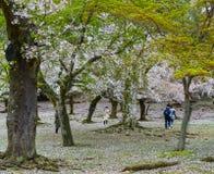 Ludzie wizyty czere?niowego okwitni?cia parka w Nara, Japonia fotografia royalty free