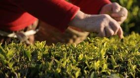 Ludzie zbiera herbacianych liście na pogodnej plantaci, zatrudnieniowa zagranica, biznes zbiory wideo