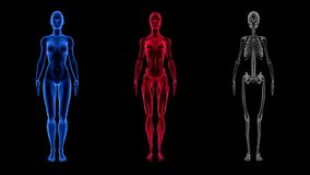 Ludzka Żeńska anatomii 3D animaci biologii nauki technologia ilustracji
