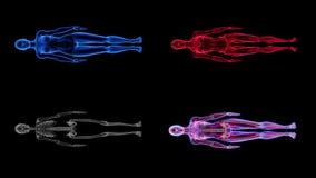 Ludzka Żeńska anatomii 3D animaci biologii nauki technologia ilustracja wektor