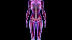 Ludzka Żeńska anatomii 3D animaci biologii nauki technologia royalty ilustracja
