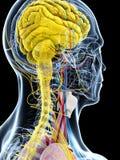 Ludzka anatomia ilustracja wektor