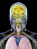 Ludzka anatomia Zdjęcie Stock