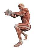 Ludzka anatomia - Męscy mięśnie Zdjęcia Royalty Free