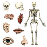 Ludzka biologia, anatomii ilustracja grawerująca ręka rysująca w starym nakreślenia i rocznika stylu czaszki lub kośca sylwetka royalty ilustracja