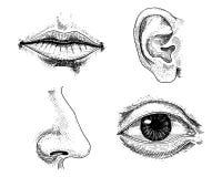 Ludzka biologia, organ anatomii ilustracja grawerująca ręka rysująca w starym nakreślenia i rocznika stylu twarz wyszczególniając ilustracji