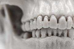 ludzka czaszka zdjęcia stock
