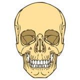 Ludzka czaszka 01 Ilustracji