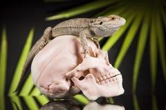 Ludzka czaszka, Agama brodaty, jaszczurki tło Obraz Stock