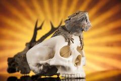 Ludzka czaszka, Agama brodaty, jaszczurki tło Obrazy Royalty Free