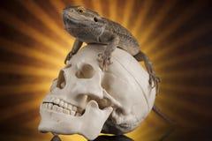 Ludzka czaszka, Agama brodaty, jaszczurki tło Zdjęcia Stock