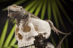 Ludzka czaszka, Agama brodaty, jaszczurki tło Zdjęcie Stock