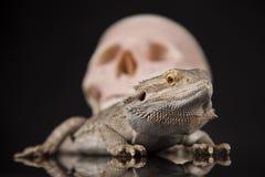 Ludzka czaszka, Agama brodaty, jaszczurki tło Zdjęcie Royalty Free