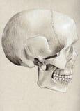Ludzka czaszka w profilu ilustracji