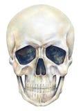 Ludzka czaszki osoba odizolowywa na białym tle banki target2394_1_ kwiatonośnego rzecznego drzew akwareli cewienie royalty ilustracja