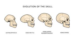 Ludzka ewolucja czaszka Dziejowe ilustracje DARWIN teoria royalty ilustracja