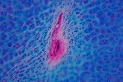 Ludzka Hyaline cartilage kość pod mikroskopu widokiem dla edukaci Obrazy Stock