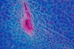 Ludzka Hyaline cartilage kość pod mikroskopu widokiem dla edukaci Fotografia Royalty Free