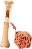 Ludzka kość Zdjęcie Royalty Free