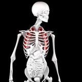 Ludzka męska anatomia Zredukowani i Podkreślający płuca ilustracja 3 d royalty ilustracja