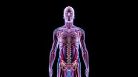 Ludzka Męska anatomii 3D animaci biologii nauki technologia ilustracji