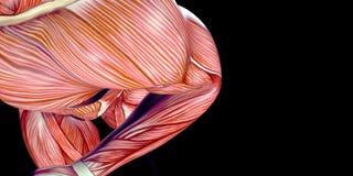Ludzka Męskiego ciała anatomii ilustracja ludzka ręka z widocznymi mięśniami zdjęcia royalty free