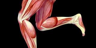 Ludzka Męskiego ciała anatomii ilustracja z widocznymi mięśniami ilustracja wektor