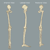 Ludzka nogi anatomia Ilustracja Wektor
