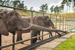 Ludzka ręka karmi słonia zdjęcia stock