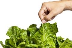 Ludzka ręka podnosi świeżego liścia warzywo zdjęcia stock