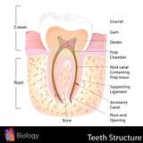 Ludzka ząb struktura Obrazy Royalty Free