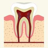 Ludzka zębu i dziąsła anatomia Obrazy Stock