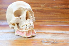 Ludzki czaszki anatomii model Zdjęcie Stock