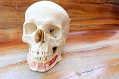 Ludzki czaszki anatomii model Fotografia Stock