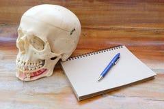 Ludzki czaszki anatomii model Obrazy Stock
